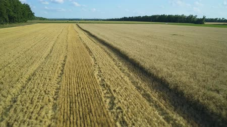 korpa : Aerial drone footage. Low flight over wheat field