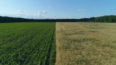 korpa : Aerial drone footage. Low flight over two field, wheat and corn fields Stock mozgókép