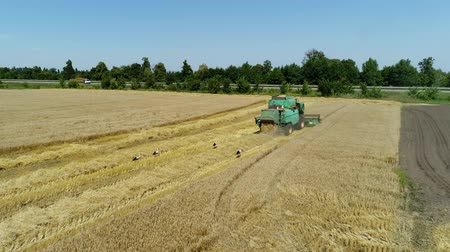 korpa : Aerial drone footage. Following Combine Harvester gathers the wheat. Harvesting grain field. Stock mozgókép