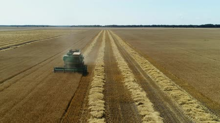korpa : Aerial drone footage. Front view Combine Harvester gathers the wheat. Harvesting grain field.