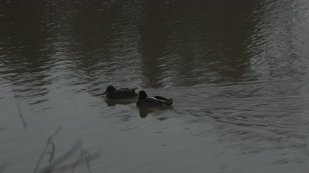 Ducks Swimming as camera pans into blur