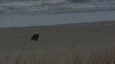Just an eagle sitting on the beach