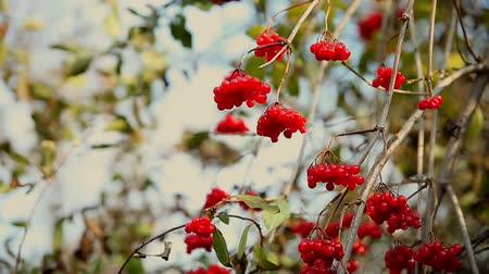 üvez ağacı : branch of  rowan tree in autumn limp wrinkled red