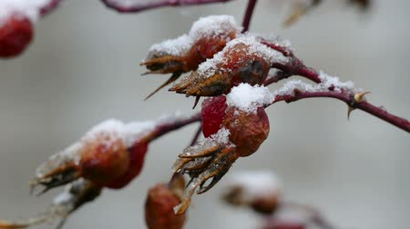 queda de neve : dog-rose wild autumn nature snow lies berries of first snow landscape