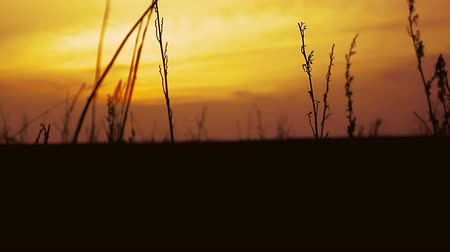сухой : dry  grass sunset silhouette on nature orange landscape Стоковые видеозаписи