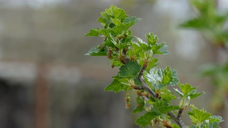 egres : gooseberry  leaf buds bud branch bush nature landscape