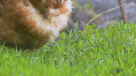 henne : beißen das Gras close up Huhn Slow-Motion-Video