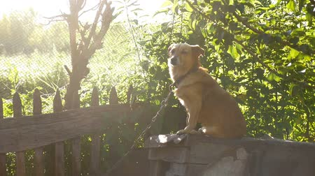 shepherds house : dog sitting on a chain in a box behind the sunlight green background slow motion video Stock Footage