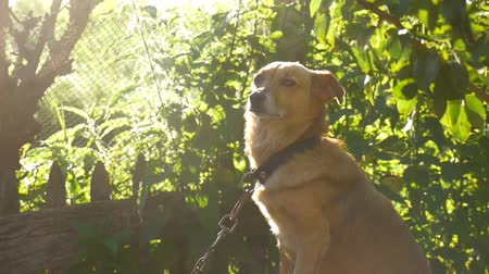 shepherds house : dog sitting on chain in a box sunlight behind green background slow motion video Stock Footage
