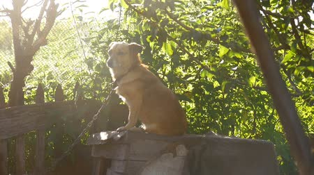 shepherds house : dog sitting on a chain in a box behind sunlight green background slow motion video