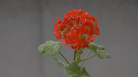 герань : geranium flower swinging slow motion video