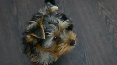 терьер : pet dog Yorkshire Terrier sitting looking at the camera