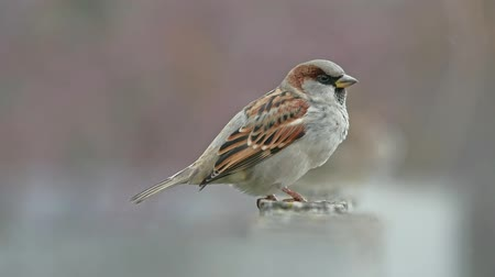 young sparrow : flock of sparrows sitting on the fence, winter cold, birds blurred background