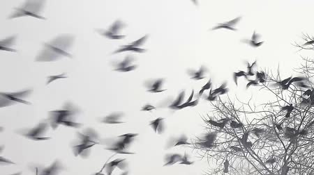 taking flight : flock of birds crow taking off from a tree, flock of crows black bird dry tree