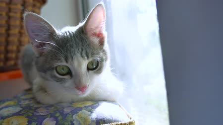 sill : gray kitten sitting at the window. cat kitten beautiful portrait of a pet