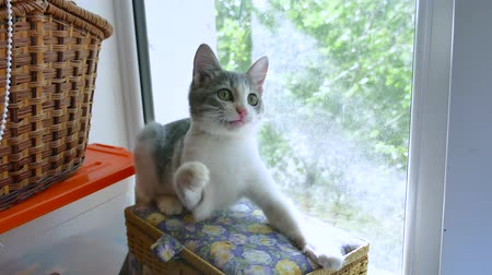 the kitten plays with threads on the windowsill near the window. the kitten plays a pet