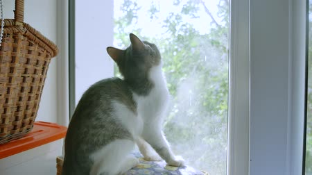 kitten is playing catching a fly on the window. kitten pet plays