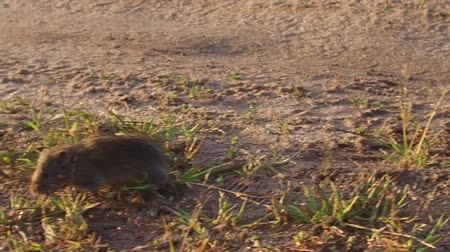 harvest mouse. field mouse runs through the grass in nature the field slow motion video