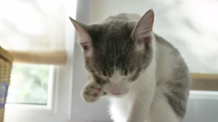 the cat licks its paw. a beautiful kitten sits in a room on the window, a cat washes his face with his paw and tongue indoor Vídeos