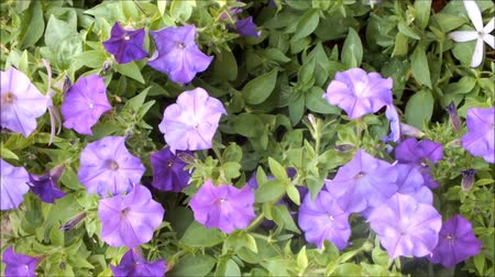 Close up of beautiful purple Petunia Summer flowers Стоковые видеозаписи