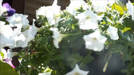 Close up of beautiful White Petunia Summer flowers Стоковые видеозаписи