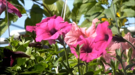 Close up of beautiful Pink Petunia Summer flowers