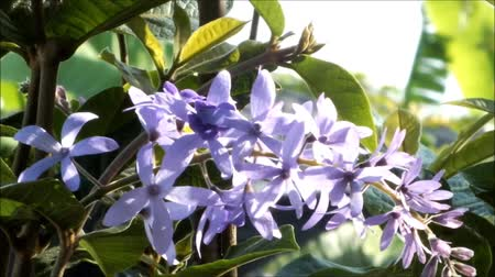 Beautiful of purple petrea volubilis flower nature background Стоковые видеозаписи