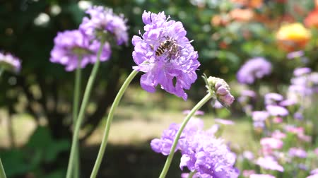 Bee pollinating and Blooming Purple flowers bouquet moving in the wind