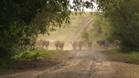 pastor : Shepherds drive home from pasture to a herd of cows along a dusty country road
