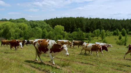 dairy cattle : Shepherds drive home from pasture to a herd of cows along a dusty country road