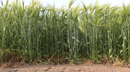 kasza jaglana : The earth was cracked by drought On the field with wheat