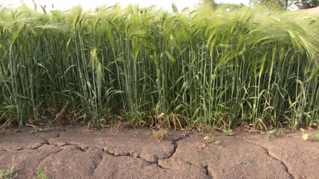prairie : The earth was cracked by drought On the field with wheat