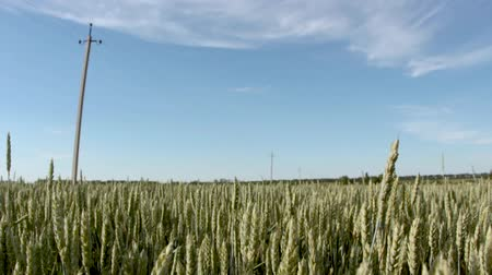 rapa : Field with crops under the blue sky Stock Footage
