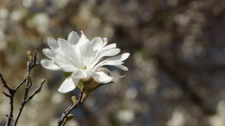 magnólia növény : Beautiful white magnolia flower in a garden close up