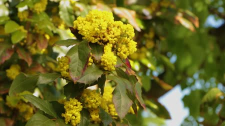 spiny : Mahonia aquifolium - Oregon grape flower Stock Footage