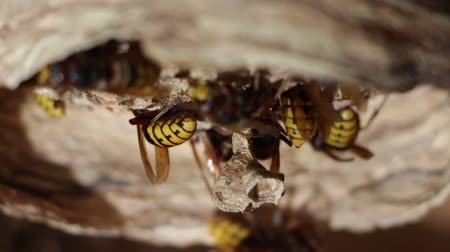 darázs : A nest of a paper wasp. Useful predatory garden insect, which destroys pests Stock mozgókép