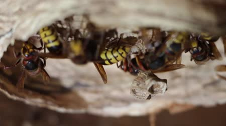 A nest of a paper wasp. Useful predatory garden insect, which destroys pests Vídeos