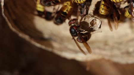 arı kovanı : A nest of a paper wasp. Useful predatory garden insect, which destroys pests Stok Video