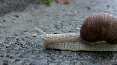 pursue : Snail Crosses the Street on Wet Asphalt After Rain. Macro of Beautiful Helix Pomatia Snail Crawls Asphalt Street. Snail On A Road