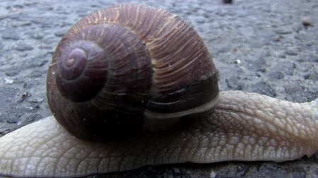 pursue : Snail On A Road. Snail Crosses the Street on Wet Asphalt After Rain. Macro of Beautiful Helix Pomatia Snail Crawls Asphalt Street Stock Footage
