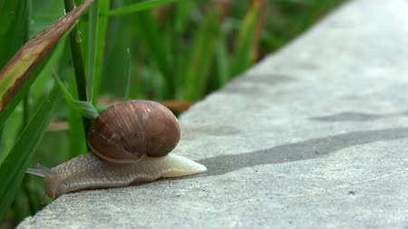pursue : Snail Crosses Concrete Stone Plate To The Side Of The Green Grass After Rain. Macro of Beautiful Helix Pomatia Snail Crawls Asphalt Street. Snail On A Road Stock Footage