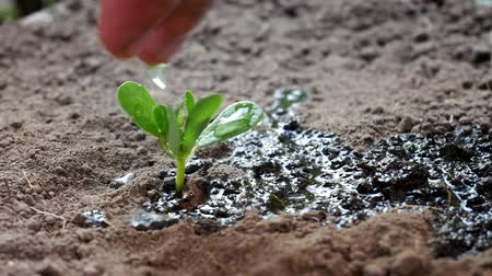 žalud : Seedling and planting. Male watering young green plant over ground background. Dostupné videozáznamy