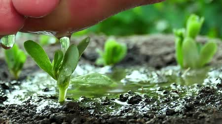 meşe palamudu : Male hand watering young green plant. Seedling and planting. Male hand watering young green plant over ground background