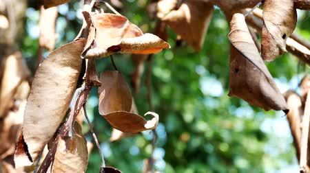 pereira : Yellowed Leaves From Disease On A Healthy Pear Tree