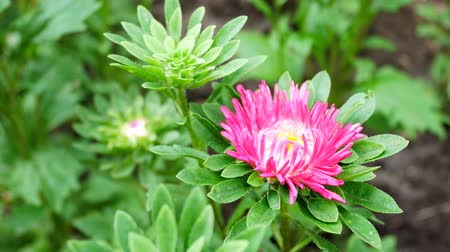 magenta flowers : Pink Aster Flower in the Home Garden Develops on the Wind