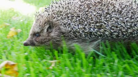 erinaceidae : Hedgehog in Green Grass Goes or Crawls. Happy Cute Hand Pet Hedgehog on Sunny Day