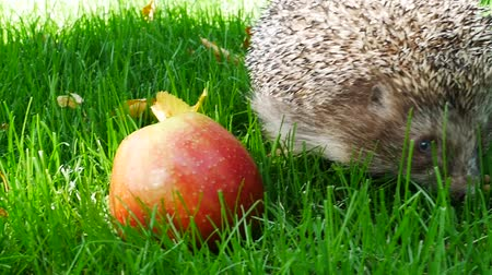 spiny : Hedgehog in Green Grass With Juicy Red Ripe Apple Goes or Crawls. Happy Cute Hand Pet Hedgehog on Sunny Day