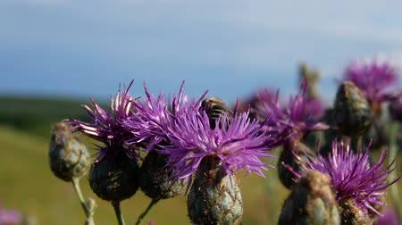 thistle : Bee on Violet Thistle Flower Gather Nectar In Sunny Day. Carduus Nutans Thistle Flower in Field in Summer. Bee Landing on Thistle Flower and Flying Out. Thistle Movsing in Wind Day