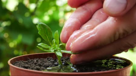 žalud : Seedling and planting. Male hand watering young green plant over ground background. Male hand watering young green plant Dostupné videozáznamy