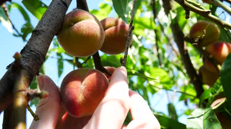 нектарин : Female Hand Rips Peach From Tree on Sunny Day. Picking Peach Fruit. Ripe Organic Peach Hanging on a Branch in Orchard. Hand Picked Ripe Peach From Peaches Tree on Garden Tree Plant Стоковые видеозаписи